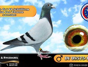 100% G i H Schilling – linia Jos Thone