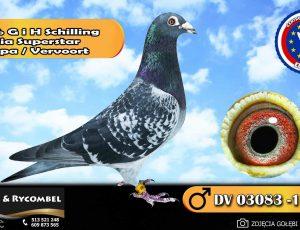 100% G i H Schilling – linia Superstar – Drapa / Vervoort