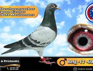 100% Descheemaecker Pigeon Center – linia Kadett Meulemans