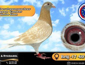 100% Descheemaecker Pigeon Center – linia Sion