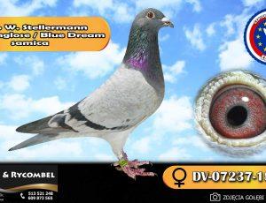 100% Werner Stellermann – linia Ringlose / Blue Dream
